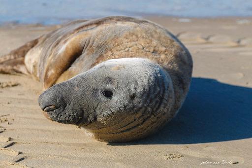 Zeehonden spotten op het Blankenbergse strand